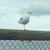 Tiny sea gull